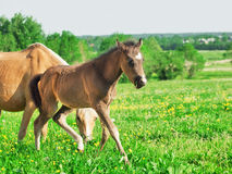 Little  foal of welsh pony with mom  in the grassland Stock Images
