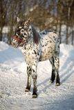 Little foal winter. On the farm Stock Photography