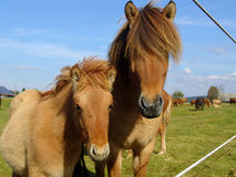 The little Foal with your Mother Royalty Free Stock Photo