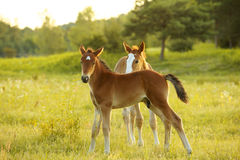 Little foals on the field Stock Photography