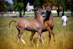 Little foals running on pastur Royalty Free Stock Photos