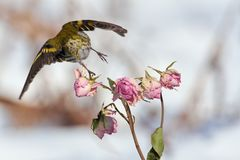 Little forest bird, siskin, flies away leaves a sprig of tea-rose buds. Little forest bird, siskin Spinus spinus, flies away leaves a sprig of tea-rose buds royalty free stock photography
