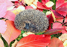 Little forest hedgehog on a background of bright autumn leaves Stock Photos