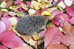 Little forest hedgehog on a background of bright autumn leaves Royalty Free Stock Photo