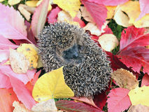 Little forest hedgehog on a background of bright autumn leaves Royalty Free Stock Images