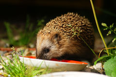 Little forest hedgehog drinks milk Stock Photos