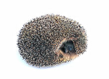 Little forest hedgehog lying on his back isolated Stock Photo