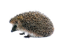 Little forest hedgehog lying on his back isolated Stock Image