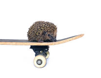 Little forest hedgehog on a skateboard isolated Royalty Free Stock Photography