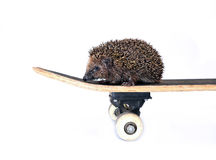 Little forest hedgehog on a skateboard isolated Royalty Free Stock Photo