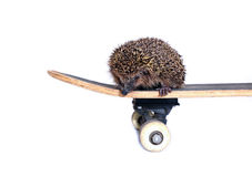 Little forest hedgehog on a skateboard isolated Stock Photo