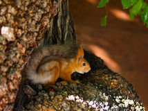 Little Forest mistress. Squirrel in a tree looking for food stock photo
