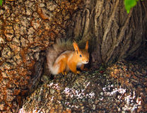 Little Forest mistress. Squirrel in a tree looking for food royalty free stock images