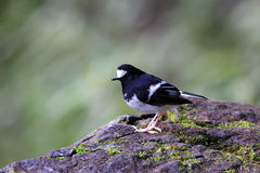 Little Forktail, Enicurus scouleri Royalty Free Stock Photo