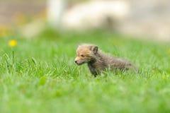 Little fox Royalty Free Stock Photos