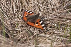 Little Fox - Aglais urticae Stock Photography