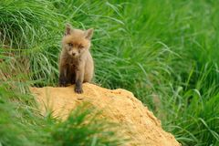 Little Fox. This little fox is coming out from the hole Royalty Free Stock Photography