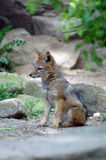 Little fox is dreaming. A little fox is resting and dreaming Royalty Free Stock Images
