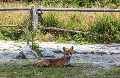 Little fox at the forest in High Tatras mountains, Slovakia stock photos