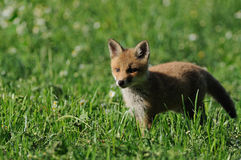 Little Fox on the Grassland Royalty Free Stock Images