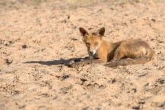Little fox tired Stock Photos