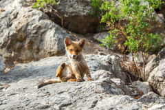 Little fox in the wildlife. Little fox in the wild scratching his ear Stock Image