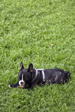 Little French bulldog laying Stock Images