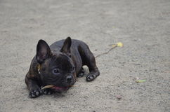 Little french bulldog outdoor Stock Photo