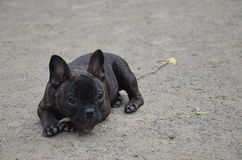 Little french bulldog outdoor Stock Images
