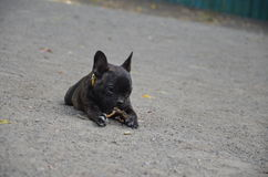 Little french bulldog outdoor Stock Photography