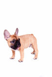 Little french bulldog puppy Royalty Free Stock Image