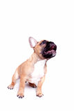 Little french bulldog puppy. Beautiful little french bulldog puppy on white background royalty free stock images