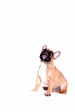 Little french bulldog puppy Royalty Free Stock Photos