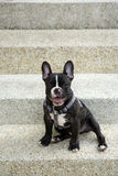Little French bulldog sitting Royalty Free Stock Photo