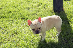 Little French bulldog standing Stock Photos