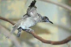 Little friarbird Arkivbilder