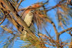Little Friarbird Stock Photos