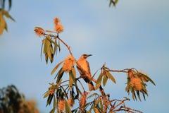 Little Friarbird Royalty Free Stock Photos