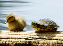 Little Friends Duckling and Turtle Stock Photo