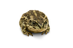 Little frog. Little blotched frog against the white background royalty free stock photo