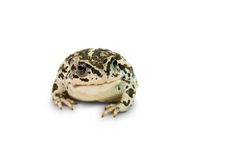 Little frog. Little blotched frog against the white background royalty free stock image