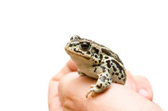Little frog Stock Photos