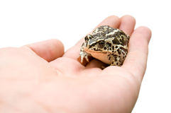 Little frog Royalty Free Stock Photo
