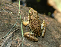 Little frog. This little green and brown frog is perched on a lot at the edge of the water stock image
