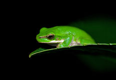 Little frog Royalty Free Stock Image