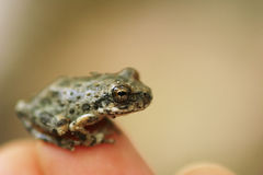 Little frog. Sitting on a finger close-up Stock Images
