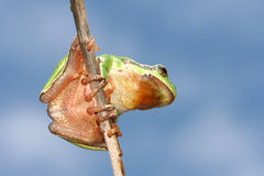 Little frog. Little tree frog on the branch Royalty Free Stock Photography