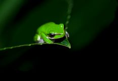 Little frog Stock Photography