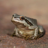 Little frog. A small brown leaf frog Royalty Free Stock Image
