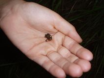 Little frog. Little brown frog in hand Royalty Free Stock Photography